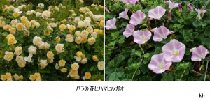 バラの花とハマヒルガオ