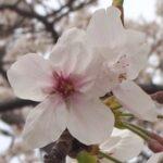 箱崎公園の桜